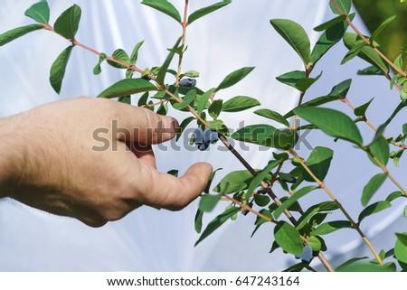 honeysuckle in human hand Stock photo © jonnysek