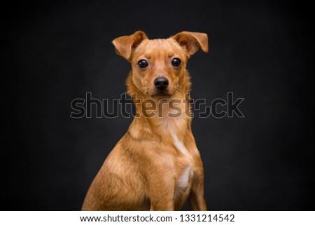 Studio shot of an adorable pinscher dog Stock photo © vauvau