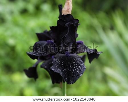 подробность · Iris · цветок · полный · весны · цвести - Сток-фото © meinzahn