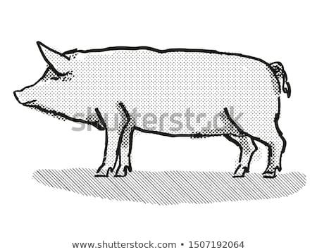 Tamworth Pig Breed Cartoon Retro Drawing Stock photo © patrimonio