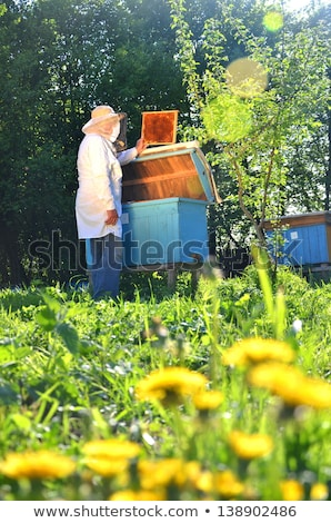 Beekeeper working in apiary Stock photo © przemekklos