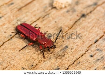 красный Кора жук завода лист Сток-фото © brm1949