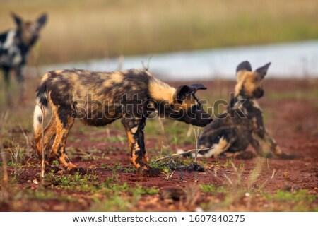 Csomag afrikai vad kutyák iszik ivóvíz Stock fotó © simoneeman