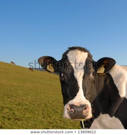 Rebanho carne gado blue sky cópia espaço australiano Foto stock © sherjaca