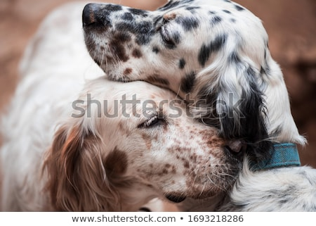 English Setter Stock photo © eriklam