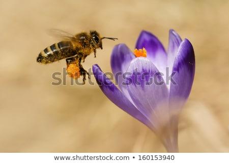 Méh repülés kikerics virágok makró lila Stock fotó © manfredxy