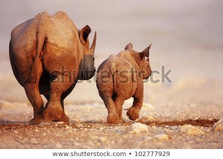 Stock photo: Black Rhinoceros Baby And Cow
