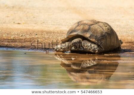 черепаха воды цветок зеленый каменные голову Сток-фото © kawing921