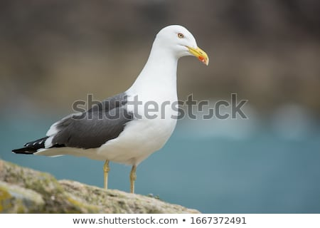 Lesser Black-backed Gull on grass with tulips in the background Stock photo © TanArt