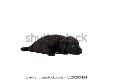 grupo · sharpei · filhotes · de · cachorro · isolado · branco · estúdio - foto stock © silense