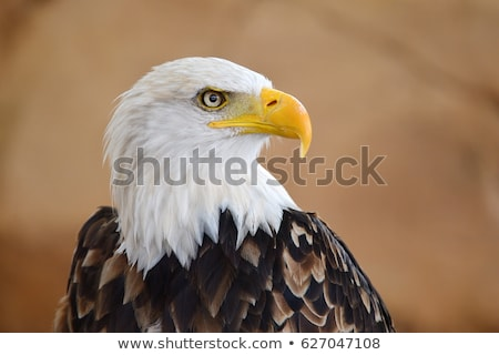 Stock photo: Bald Eagle Close-Up