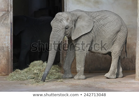 elephant eating hay stock photo © elenarts