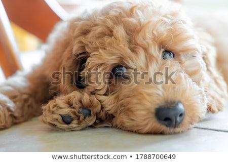 velho · preto · poodle · sessão · branco · cão - foto stock © willeecole