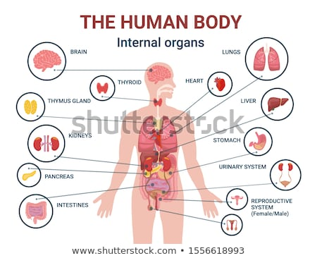 Internal organ and Body Parts Stock photo © vectomart