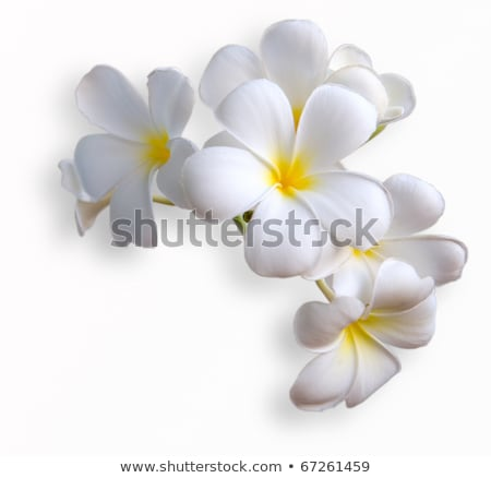 Frangipani tropical flowers from deciduous tree Stock photo © meinzahn