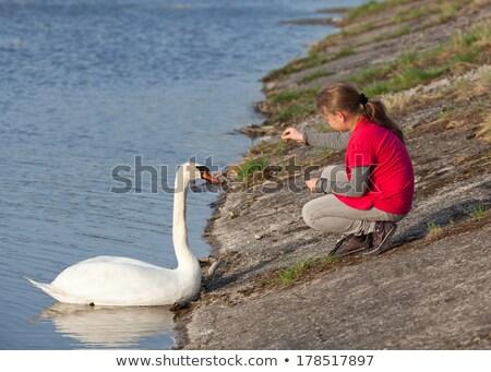 little girl feeds the swan stock photo © nizhava1956