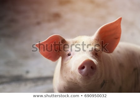 Close up of a pig Stock photo © Hofmeester