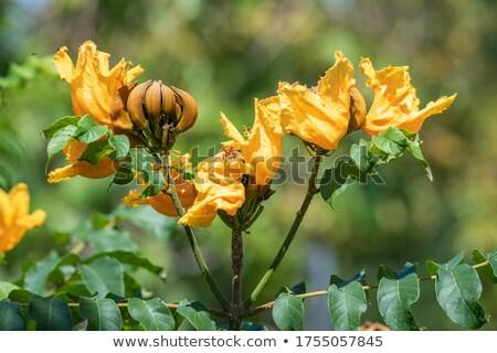 Chama tulipas fronteira isolado branco Foto stock © kimmit