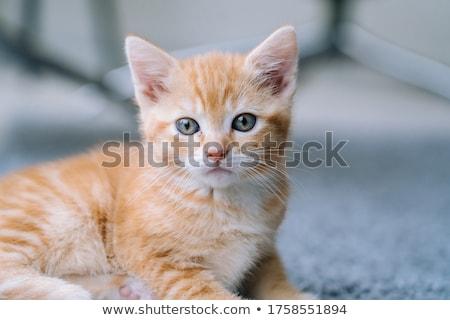Turuncu kedi yavrusu güzel beyaz ay eski Stok fotoğraf © ajn