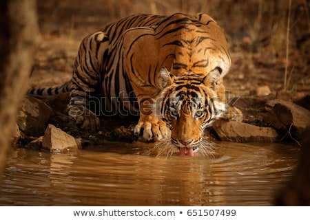 indian tiger drinking water stock photo © lightpoet