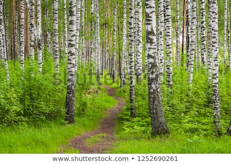 Lungo betulla natura sfondo estate verde Foto d'archivio © mikhail_ulyannik