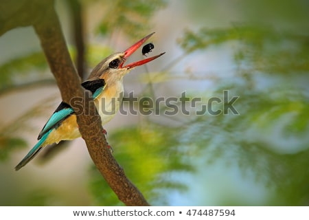 Brown-hooded Kingfisher (Halcyon albiventris) Stock photo © dirkr
