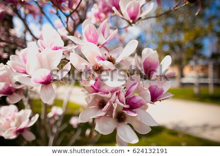 White magnolia with blue sky background Stock photo © Relu1907