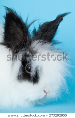 Retrato rabino decorativo azul cabelo coelho Foto stock © OleksandrO