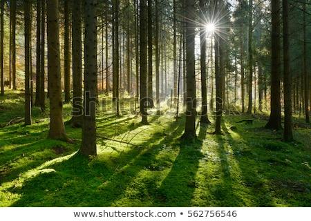 Moha lucfenyő erdő tájkép kövek napsugarak Stock fotó © Kotenko