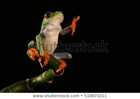 red eyed tree frog on stem stock photo © jeffmcgraw