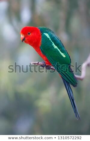 Ausztrál király papagáj ül ág folyó Stock fotó © dirkr