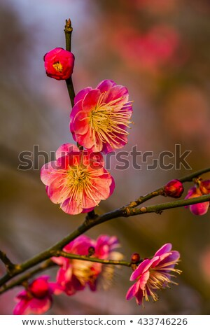 Ameixa flor ocidente lago China cidade Foto stock © billperry