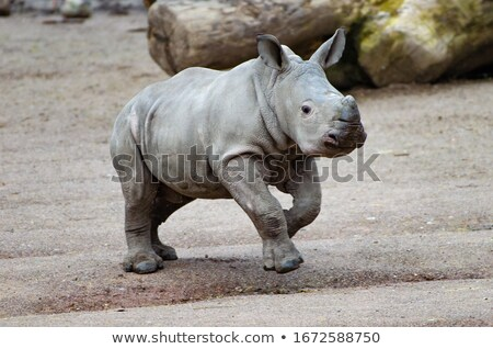 black rhino with youn baby stock photo © compuinfoto