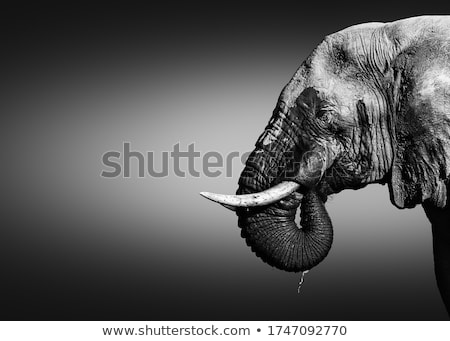 Stock fotó: Közelkép · elefánt · iszik · feketefehér · park · Dél-Afrika