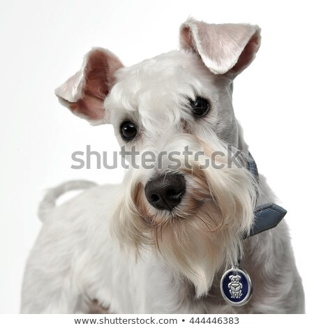 sweet white miniature schnauzer in the white photo studio Stock photo © vauvau