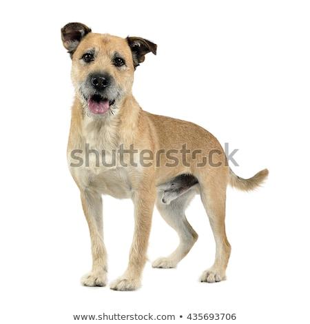ブラウン 色 髪 混合した 犬 ストックフォト © vauvau