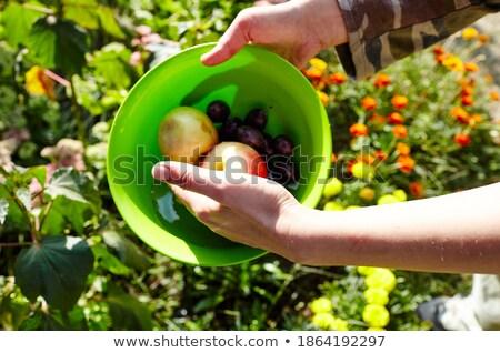Vers pruimen bio tuin mand natuur Stockfoto © Peteer