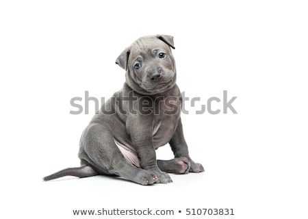 Thai ridgeback puppy isolated on white Stock photo © svetography