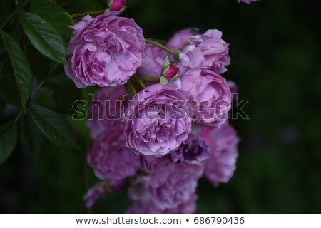 Violet rose bush in the garden Stock photo © nalinratphi