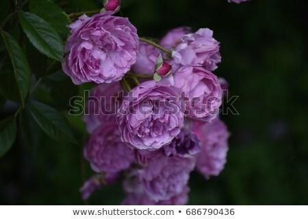 バイオレット · バラ · 茂み · 庭園 · 在庫 · 写真 - ストックフォト © nalinratphi