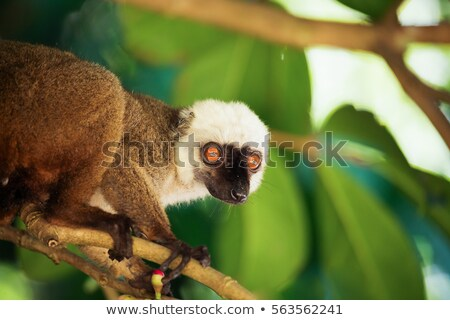 white headed lemur eulemur albifrons madagascar stock photo © artush