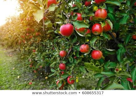 frescos · manzanas · blanco · verde · dorado - foto stock © digifoodstock