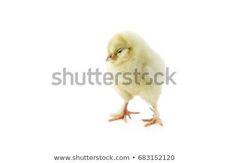 спальный изолированный цыплят ребенка куриного белый Сток-фото © StephanieFrey