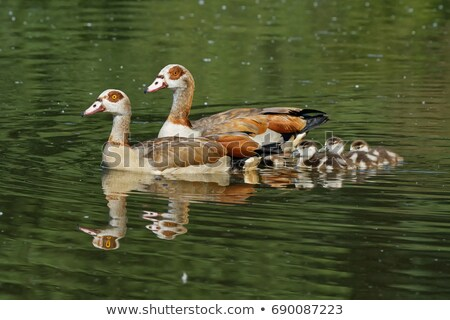 Egyptian geese standing in the water. Stock photo © simoneeman