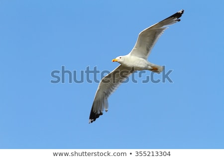 caspian gull over colorful blue sky stock photo © taviphoto