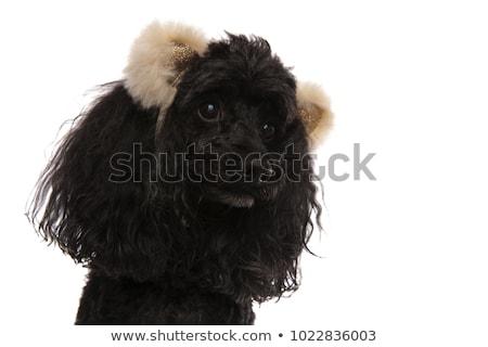 голову Cute пудель несут ушки Сток-фото © feedough