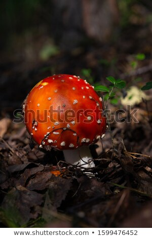 Red colored fly amanita mushroom in a Nordic forest Stock photo © Mps197