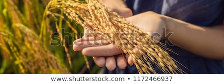 a woman and a ripe harvest of rice rice porridge rice flakes rice flour stock photo © galitskaya
