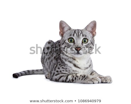 Handsome green eyed silver spotted Egyptian Mau cat kitten laying down isolated on white background Stock photo © CatchyImages