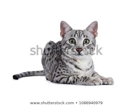 かわいい · 銀 · エジプト人 · 猫 · 子猫 - ストックフォト © catchyimages